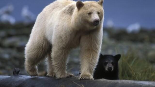 Un urs polar? Mai uita-te o data!