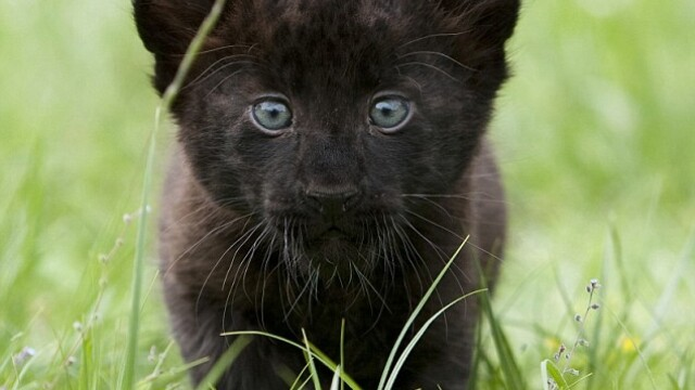 Vrei sa vezi doi pui de pantera cu ochi albastri!