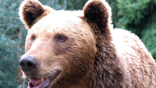 O ursoaica agresiva le-a dat de furca vanatorilor dintr-un oras slovac