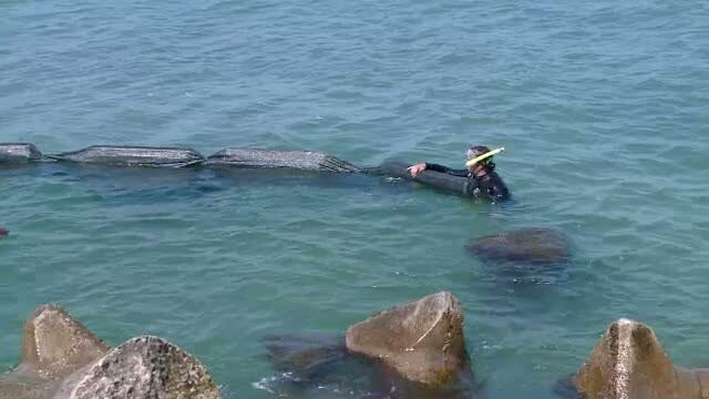Autoritatile, facute de ras. Problema algelor de pe litoral, rezolvata de biologi, cu 1.000 de euro