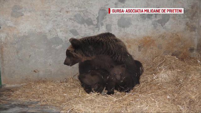Ursoaica din Prahova si puii ei au ajuns in rezervatia Zarnesti. Animalele intrasera in mai multe gospodarii