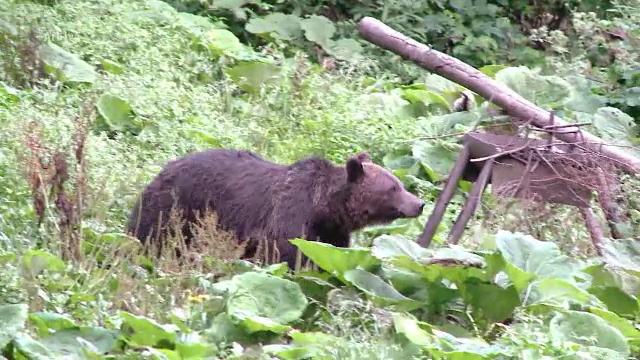 Un urs a murit, dupa ce a fost lovit de locomotiva, langa Brasov. Incidentele de acest gen, tot mai dese in ultimul an