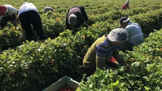 Analiză BBC. De ce refuză românii locurile de muncă în agricultură oferite de Marea Britanie