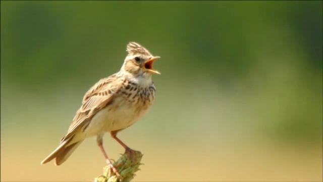 Apel pentru a ne salva simbolul național. Un vânător are voie să ucidă zilnic 50 de păsări - Imaginea 1