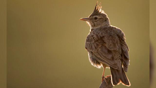 Apel pentru a ne salva simbolul național. Un vânător are voie să ucidă zilnic 50 de păsări - Imaginea 2