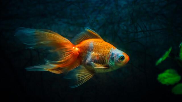 Un american a aruncat la canal un peştişor auriu. În ce monstru s-a transformat