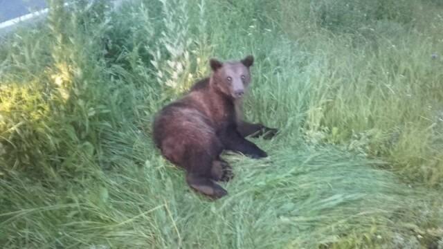 Pui de urs lovit în plin de o maşină pe DN 1, la Brașov. Reacția oamenilor - Imaginea 1