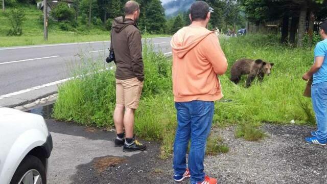 Pui de urs lovit în plin de o maşină pe DN 1, la Brașov. Reacția oamenilor - Imaginea 2
