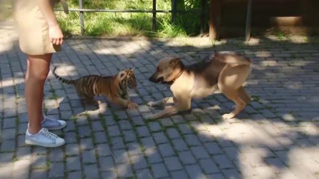 Un cățel și un tigru de la o grădină zoologică din Rusia au devenit cei mai buni prieteni