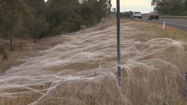 Mai multe zone din Australia au fost acoperite cu pânze de păianjen, din cauza inundațiilor