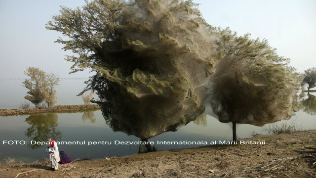 FOTO. Atacul paianjenilor in Pakistan. Copaci transformati in gogosi