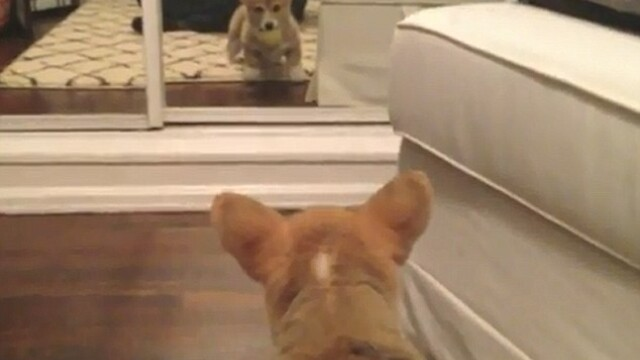corgi oglinda