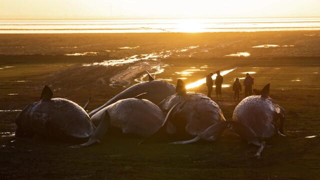 30 de casaloti esuati pe coasta germana a Marii Nordului, dupa ce au urmarit prada. Ce le-au descoperit biologii in stomacuri