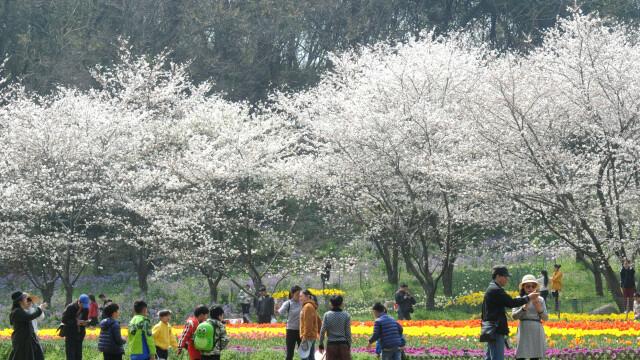 Au înflorit cireșii, în orașul chinez Suzhou. Oamenii se bucură de venirea primăverii