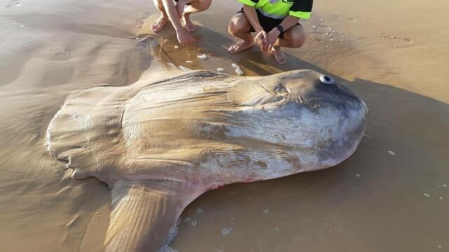 Un exemplar gigantic de peşte-lună a eşuat pe o plajă din Australia - 1