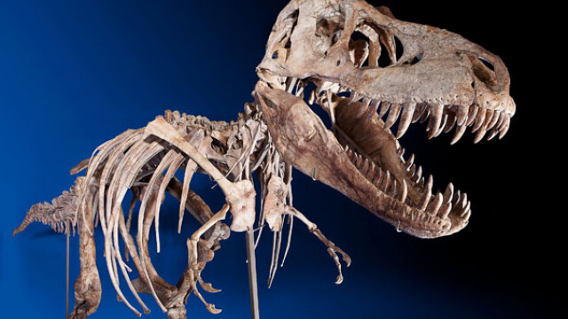 Scandal in jurul unui schelet rar de tiranozaur, vandut la licitatie pentru un milion de dolari