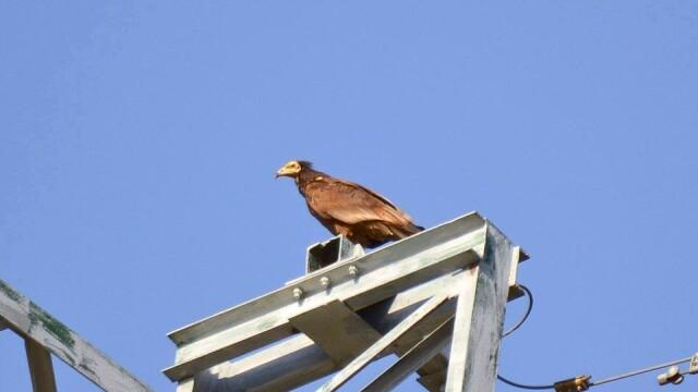Aparitie rara in Romania. Vulturul-hoitar, specie pe cale de disparitie, fotografiat in Tulcea - Imaginea 1