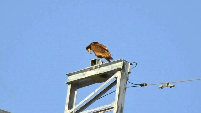 Aparitie rara in Romania. Vulturul-hoitar, specie pe cale de disparitie, fotografiat in Tulcea - Imaginea 2