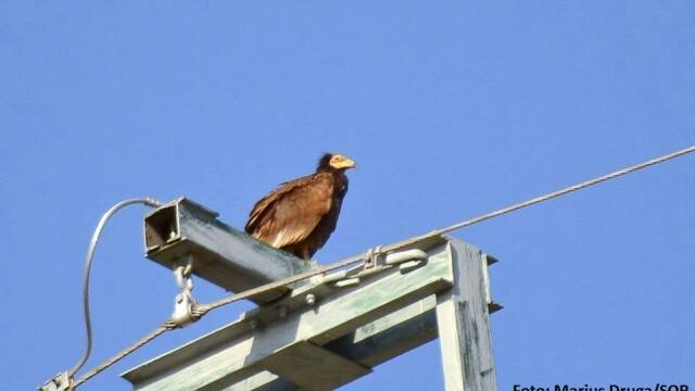 Aparitie rara in Romania. Vulturul-hoitar, specie pe cale de disparitie, fotografiat in Tulcea - Imaginea 3