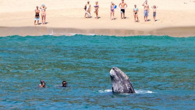 Imagini unice surprinse pe o plaja din California. Balenele si puii lor se apropie la cativa metri de de tarm. FOTO - Imaginea 1