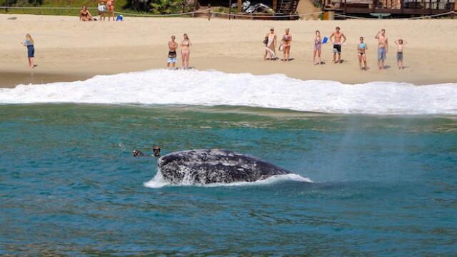 Imagini unice surprinse pe o plaja din California. Balenele si puii lor se apropie la cativa metri de de tarm. FOTO - Imaginea 2