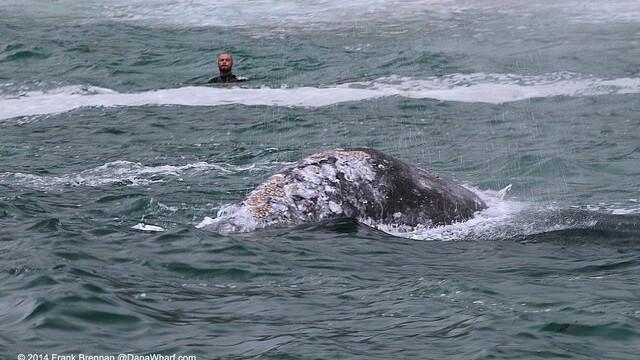 Imagini unice surprinse pe o plaja din California. Balenele si puii lor se apropie la cativa metri de de tarm. FOTO - Imaginea 3