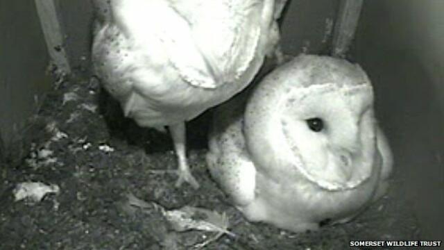 Imagini LIVE din webcamul instalat in cuibul unor bufnite. Sute de mii de oameni urmaresc viata acestor pasari
