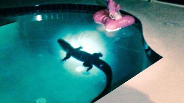 Aligator in piscina