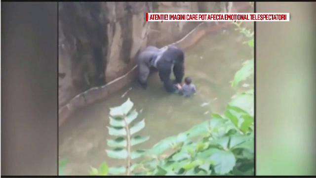O gorila a fost impuscata dupa ce un baietel a cazut in tarcul animalului, la zoo. Ce a incercat sa faca animalul
