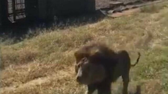 Un bărbat a fost atacat de un leu într-o rezervație. Scena de groază a fost filmată