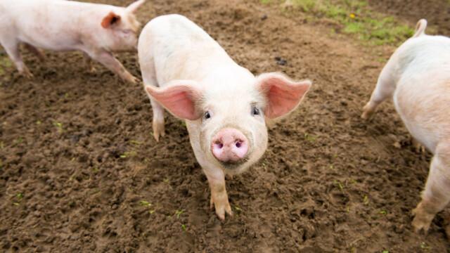 Expert: Prețul cărnii de porc va crește cu 25% în Europa, iar noi nu avem porc în România