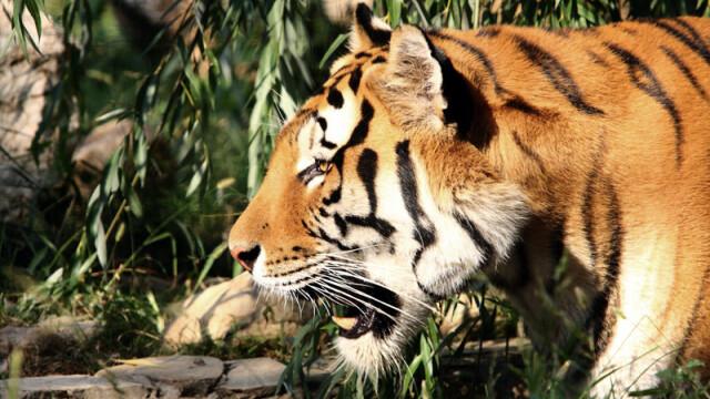 Tanarul sfasiat de tigru: Am mangaiat de mai multe ori animalele de la Zoo
