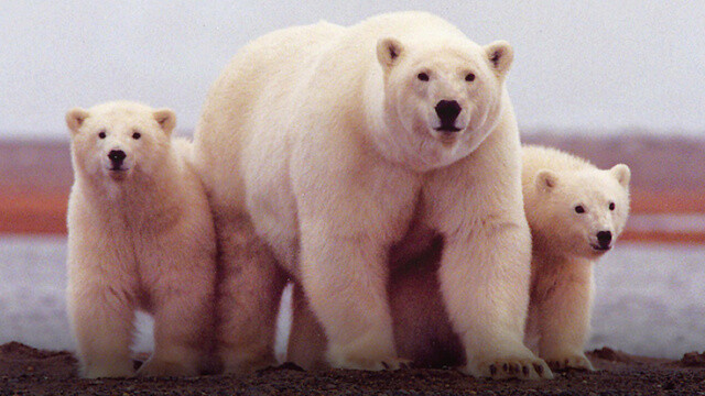 Vezi LIVE cea mai mare migratie a ursilor polari. Imagini unice