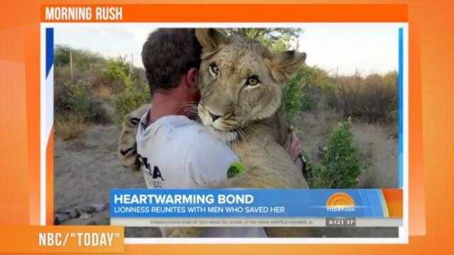Imaginea care a topit internetul. Povestea leoaicei salvata de doi danezi in Botswana