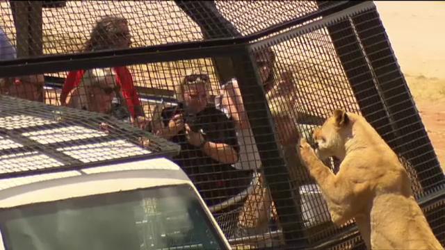 Grădina zoologică din Australia unde în cușcă sunt ținuți oamenii, nu animalele. Reacția leilor