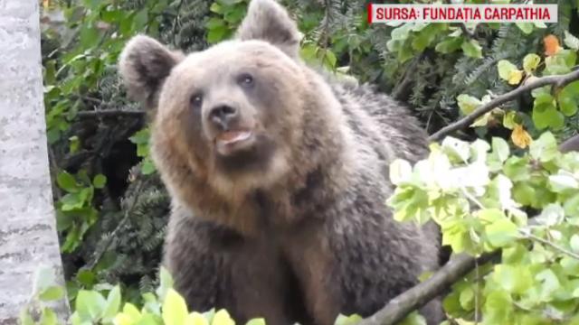 Soluțiile propuse de ONG-uri pentru a ține departe urșii de orașe, fără să fie uciși
