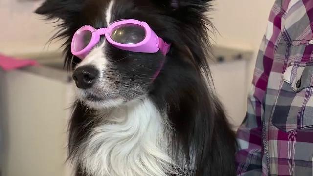 """Ochelari pentru câini, prescriși în Germania. """"Piper are miopie. Are dioptrii de minus 3,5"""""""