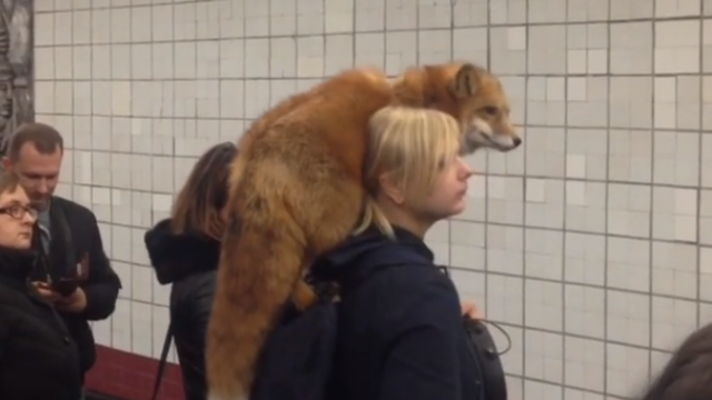 Vulpe la metrou