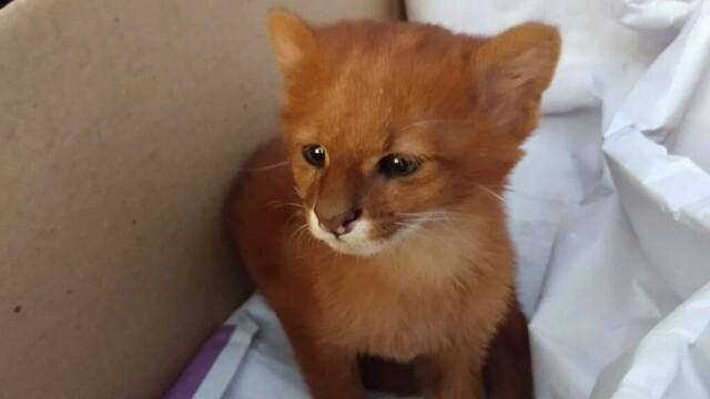 Ce era de fapt animalul pe care l-a adoptat o femeie, crezând că este un pui de pisică - Imaginea 1