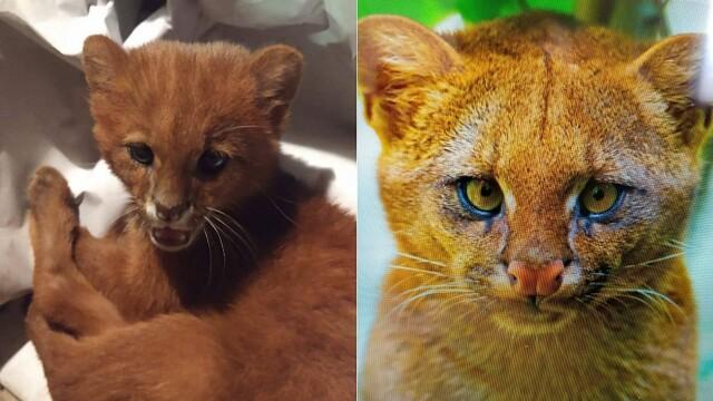 Ce era de fapt animalul pe care l-a adoptat o femeie, crezând că este un pui de pisică - Imaginea 4