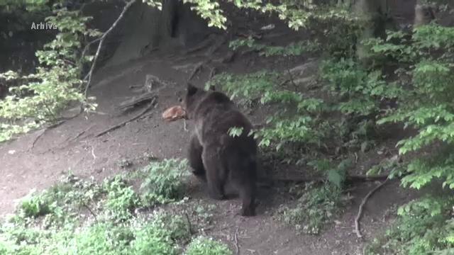 Bărbat din Harghita în stare gravă, după ce a fost atacat de un urs în propria curte
