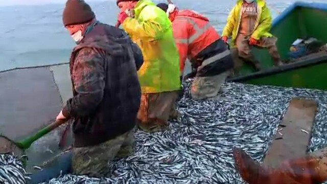 A început sezonul de pescuit stavrid şi lufar. La ce prețuri se vând în piețe