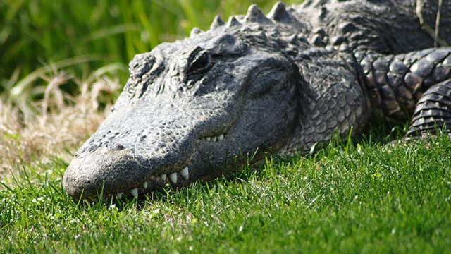 Ce te faci daca te trezesti la usa cu un crocodil de trei metri?