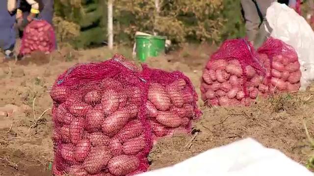 Recolta de cartofi uriasi in Cluj. Fermierii ar putea castiga pana la 10.000 de euro/hectar