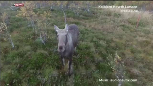 Momentul in care un elan curios inspecteaza o drona. Imaginile amuzante filmate de un norvegian