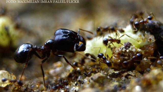 furnici negre
