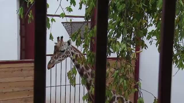 Vizitatorii au venit sa vada prima girafa din Romania, la Gradina Zoologica din Targu Mures. Alte 3 girafe vor fi aduse aici