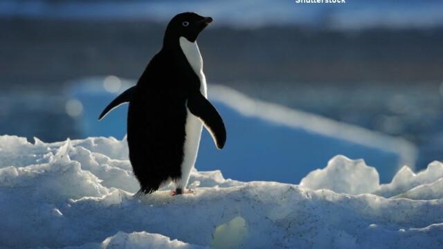 Pinguin, Marea Ross