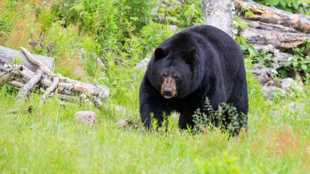 Vânător rănit grav după ce ursul pe care l-a împușcat a căzut peste el