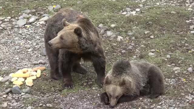 Puiul de urs de la Grădina Zoologică din Tragu Mureş a primit un nume. Care este acesta